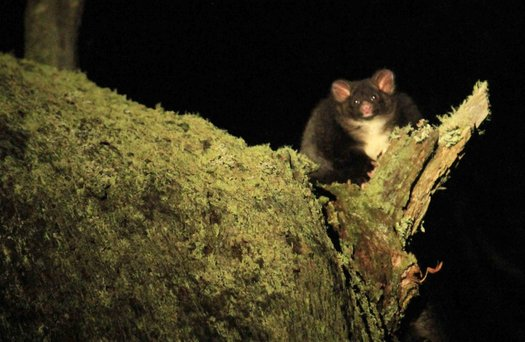 image of Protect the Greater Glider from logging