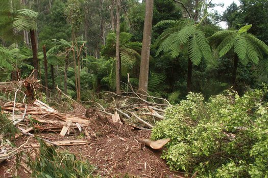 image of Protect East Gippsland's rainforests from unlawful logging